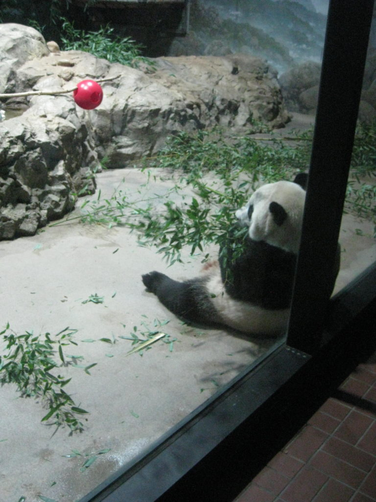 National_Zoo_Giant_Panda