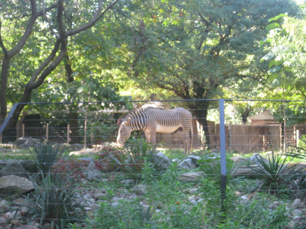 National_Zoo_Zebra