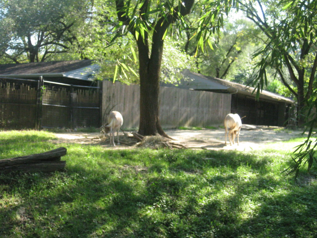 National_Zoo_scimitar_horned_oryx
