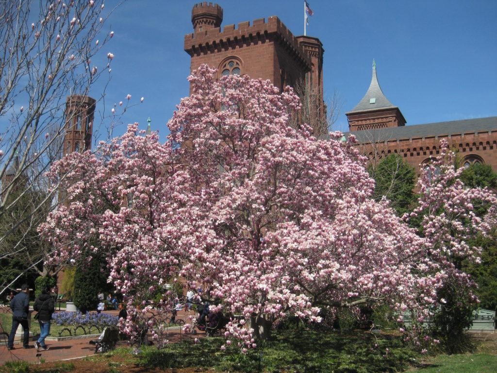 Smithsonian_Building_Castle_cherry_blossoms