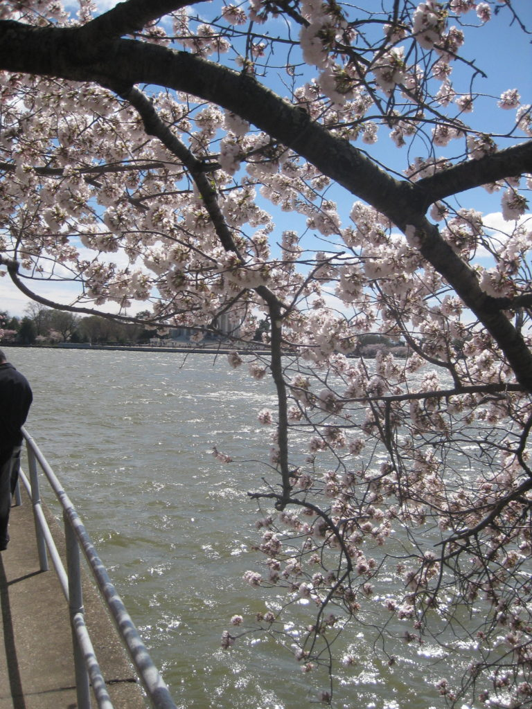cherry blossom jefferson memorial washington dc e1554073232450 768x1024 - Washington D.C. and Cherry Blossoms 2019