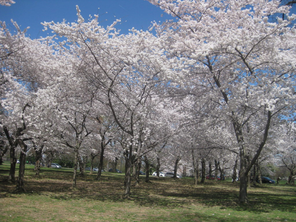 cherry blossoms washington dc 1024x768 - Washington D.C. and Cherry Blossoms 2019
