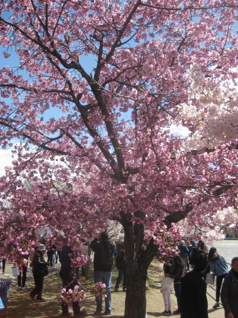 pink cherry blossoms washington dc festival e1554073321821 768x1024 - Washington D.C. and Cherry Blossoms 2019