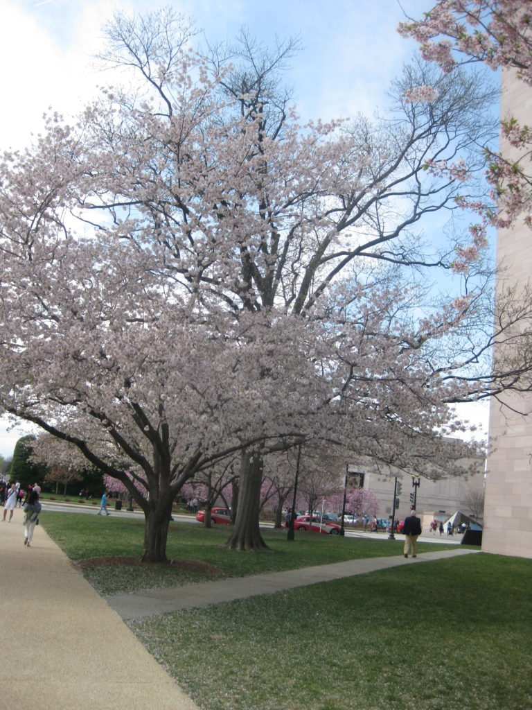 cherry blossom national art gallery e1554678648918 768x1024 - Washington D.C., Cherry Blossoms, and National Museum of African Art April 2019