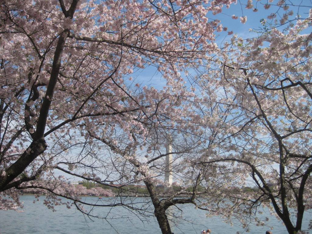 cherry blossom tidal basin washington monument 1024x768 - Washington D.C., Cherry Blossoms, and National Museum of African Art April 2019